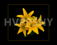 HVPPSNY September Print comp 3rd place winner; Tom Doyle - Day Lillies at Night